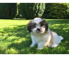 Gorgeous WHITE AND BROWN Great King Shih Tzu Puppies